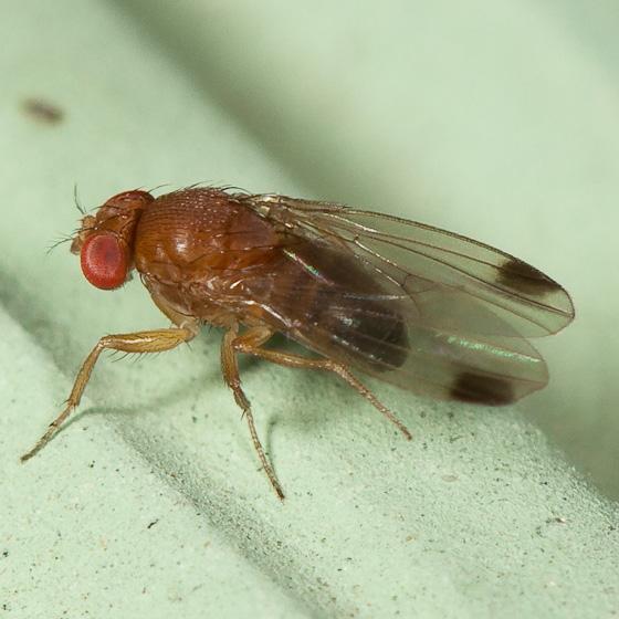 drosophilahighres