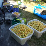 Just some of the fruit we took off that tree, much of which went to help folks in need in the region